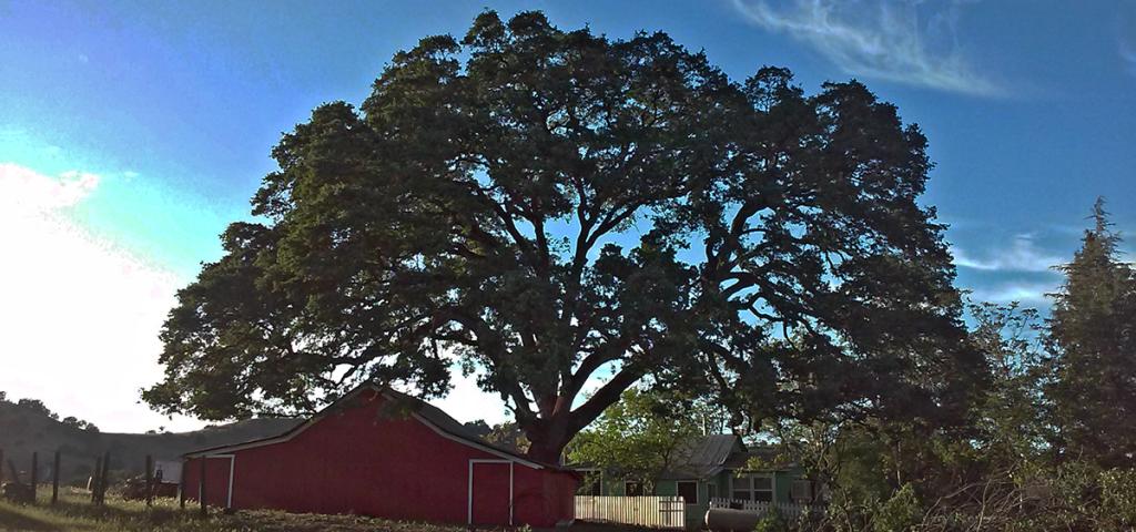 Oak Tree Trimming Sacramento